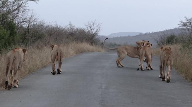 Durban overnight safari; Lions play on road