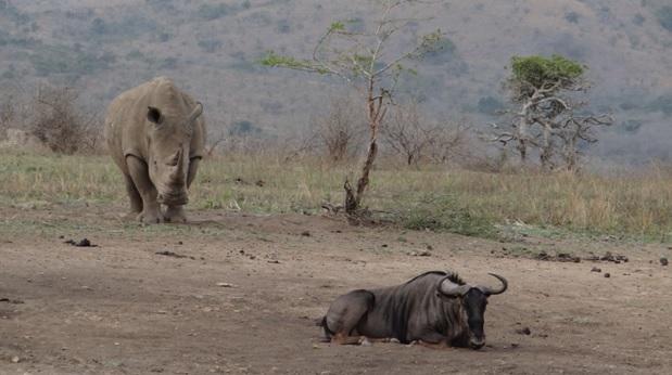 Durban overnight safari; Rhino and Wildebeest