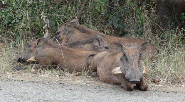 Durban overnight safari; Warthogs