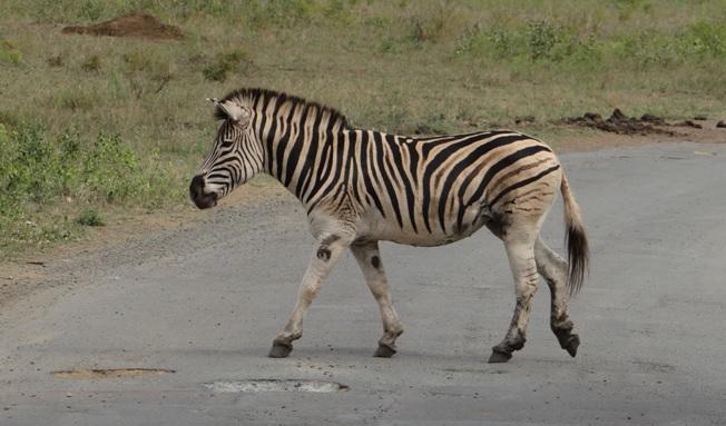 Durban overnight safari; Zebra crossing