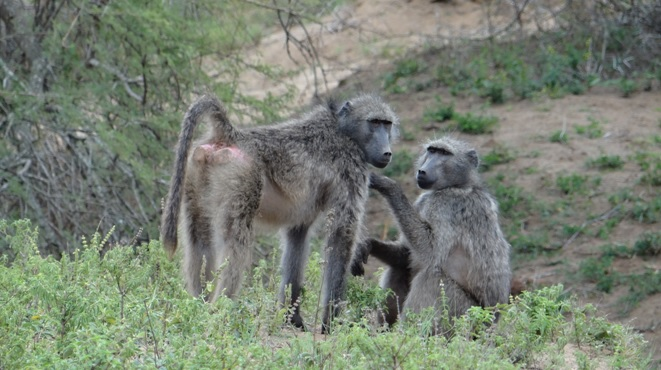 Durban Big 5 safari; Baboons