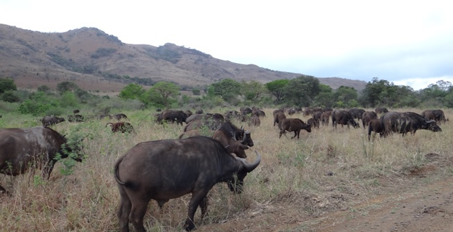 Durban Big 5 safari; Buffalo
