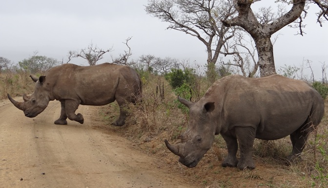 Durban Big 5 safari; Crash of Rhino