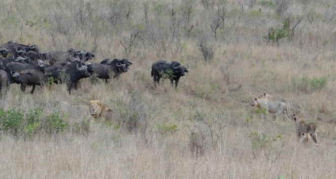 Durban Big 5 safari; Lion and Buffalo stand off