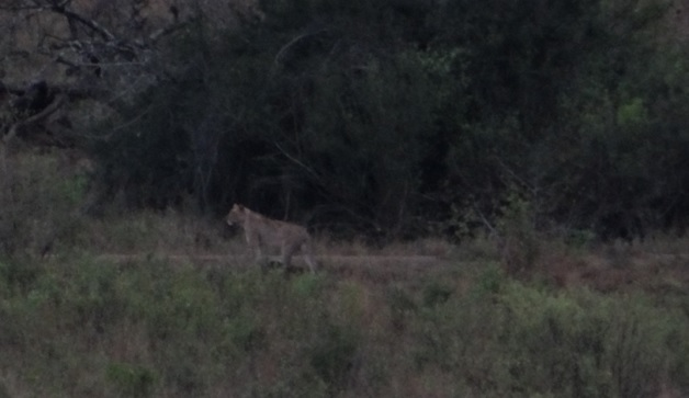 Durban Big 5 safari; Lion in the distance at dusk