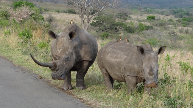 Durban Big 5 safari; Rhino mother and calf