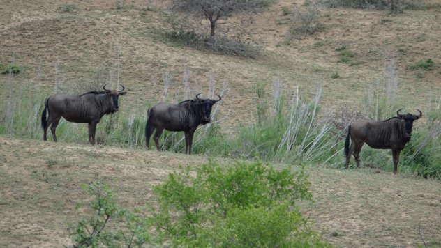 Durban Big 5 safari; Wildebeest