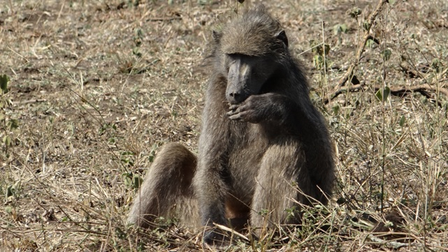 Durban day safari; Baboon