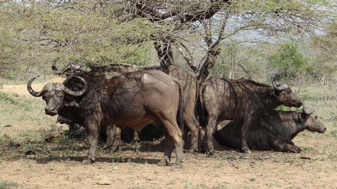 Durban day safari; Buffalo