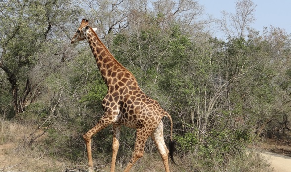Durban day safari; Giraffe