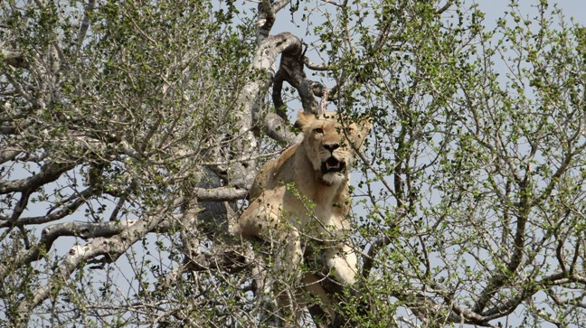 Durban day safari; Lioness in Tree
