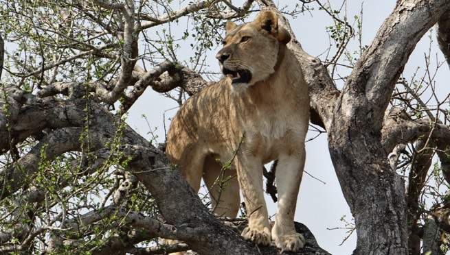 Durban day safari; Lioness in tree image 2