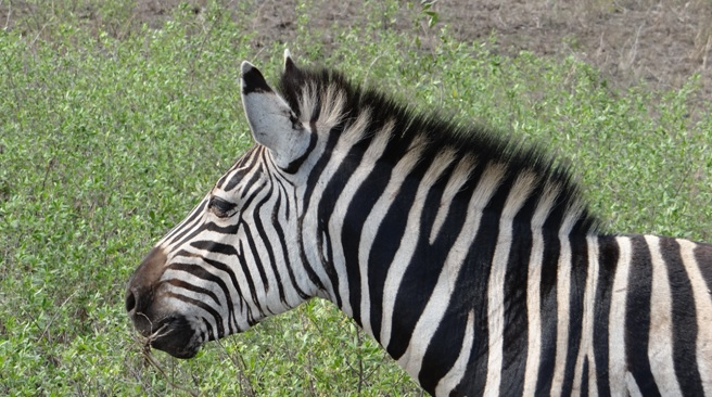 Durban day tour; Zebra