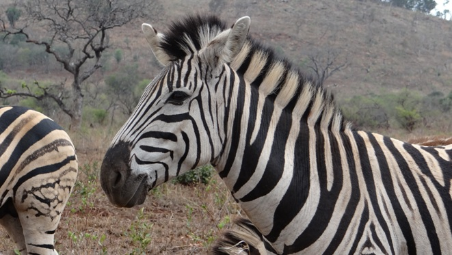 Zebra on our Durban Mini Safari