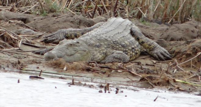 Durban safari; Crocodile