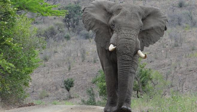 Durban safari; Elephant walks down road