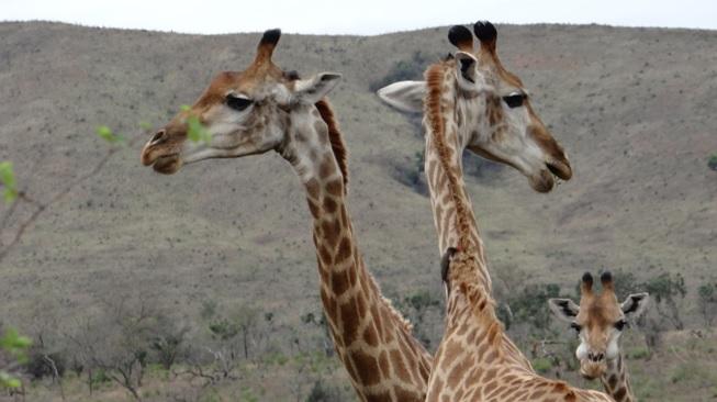 Durban safari; Giraffe