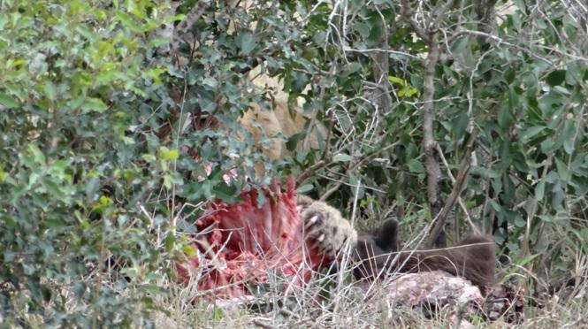 Durban safari; Lion feeding on Buffalo calf