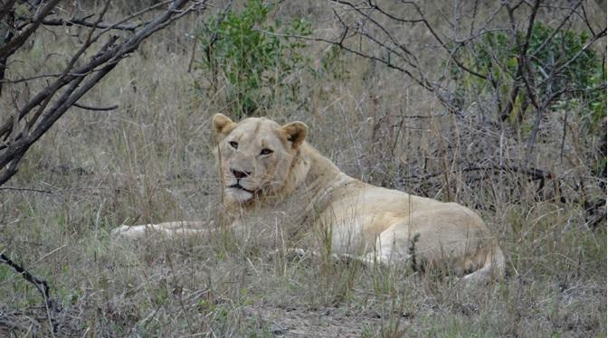 Durban safari; Lion