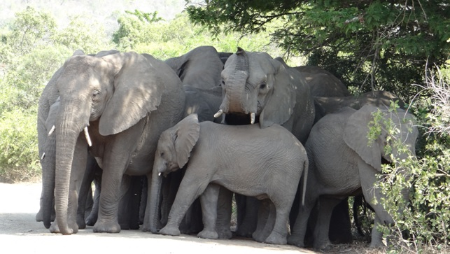 Durban safari tour; Elephants in the shade