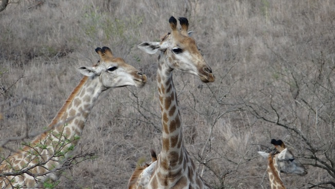 Durban safari tour; Giraffe