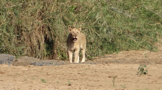 Durban safari tour; Lioness
