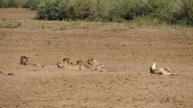 Durban safari tour; Lions resting