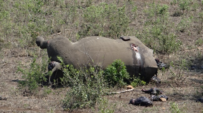 Durban safari tour; Poached Rhino