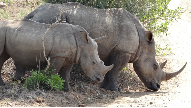 Durban safari tour; Rhino