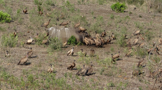 Durban safari tour; Vultures on dead Rhino