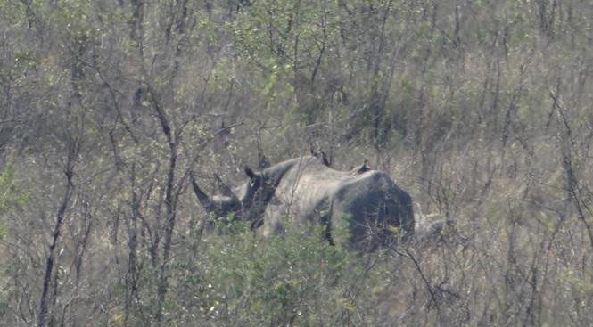 Durban tour; Black Rhino mother and calf
