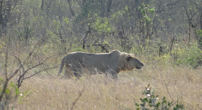 Durban tour; Buffalo, Lion stalking Warthog