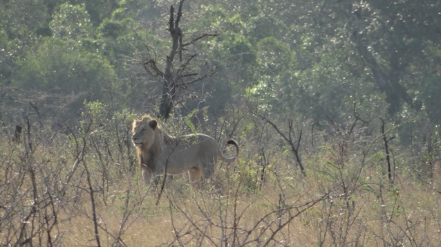 Lion on Tour in Durban