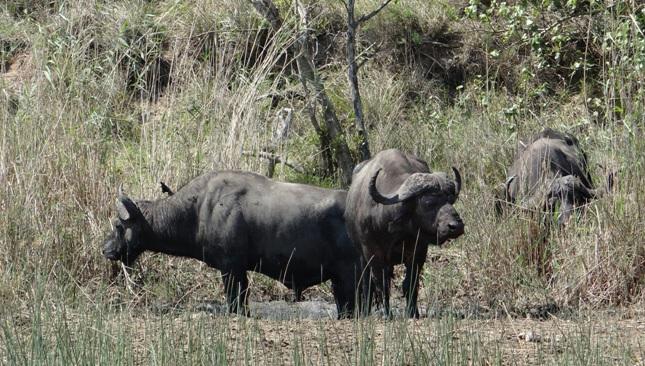 Buffalo at St Lucia