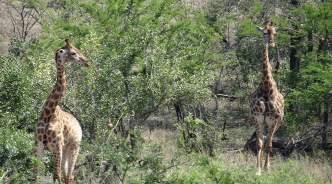 Durban tour; Giraffe