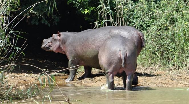 Durban tour; Hippos at St Lucia