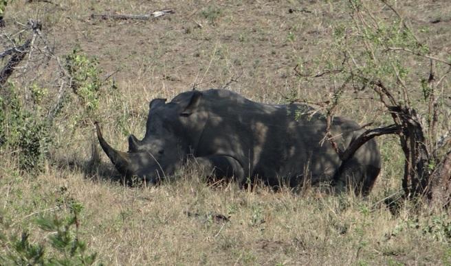 White Rhino on Durban Safari