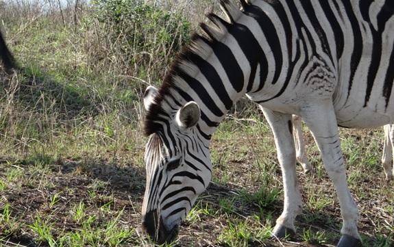 Durban tour; Zebra