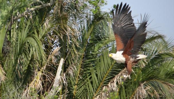 Hluhluwe Imfolozi safari; African Fish eagle in flight