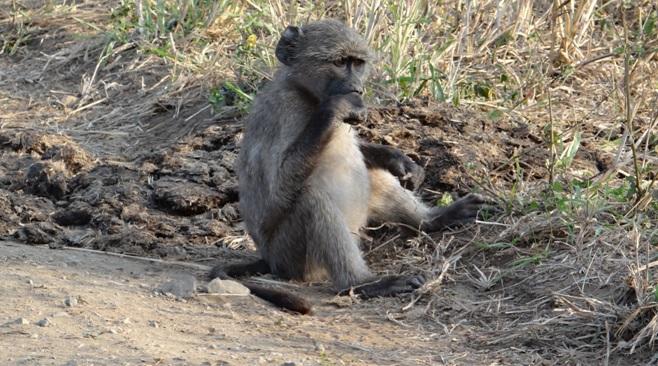 Hluhluwe Imfolozi safari; Baboon