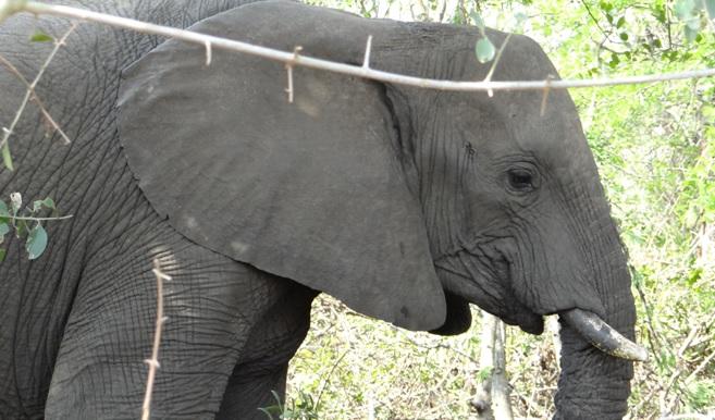 Hluhluwe Imfolozi safari; Elephant