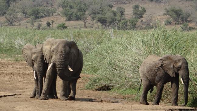 Hluhluwe Imfolozi safari; Elephants