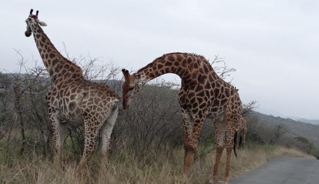 Hluhluwe Imfolozi safari; Giraffe