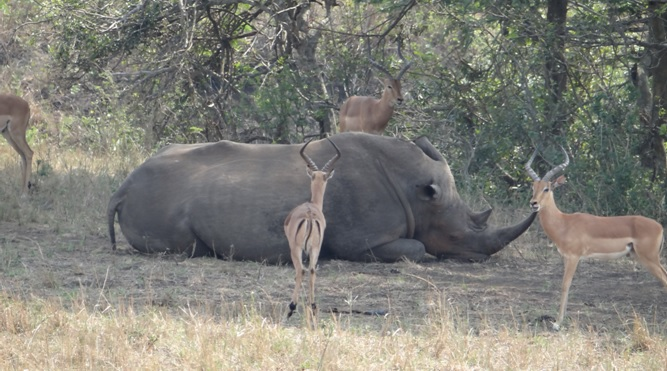 Hluhluwe Imfolozi safari; Rhino and Impala