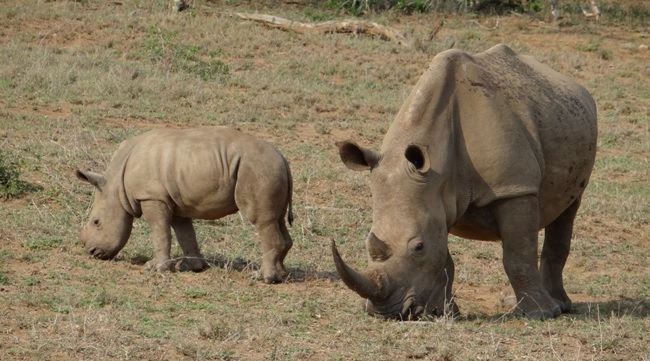Hluhluwe Imfolozi safari; Rhino mother and calf