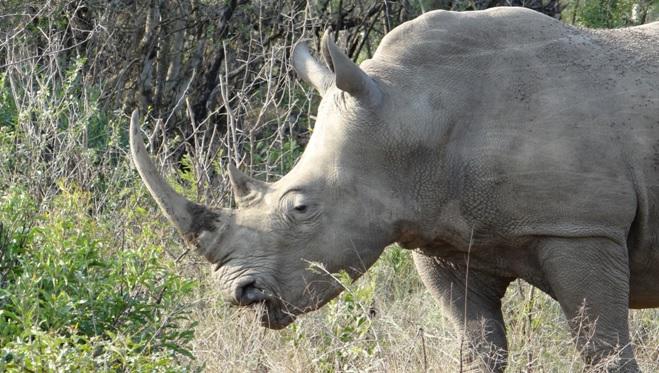 Hluhluwe Imfolozi safari; Rhino