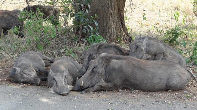 Hluhluwe Imfolozi safari; Warthogs
