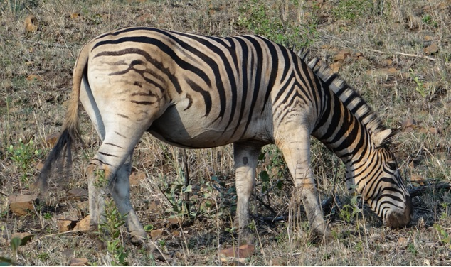 Hluhluwe Imfolozi safari; Zebra