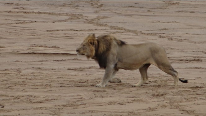African safari tours; Lion hunting