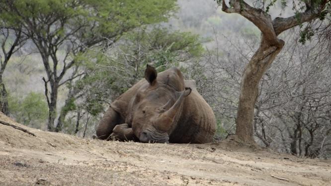 African safari tours; Rhino resting